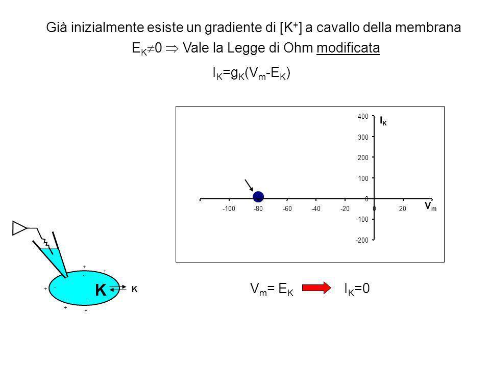 Già inizialmente esiste un gradiente di [K+] a cavallo della membrana